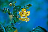 Beautiful Yellow Flower, Cassia Bicapsularis or Winter Cassia set in a Blue Background