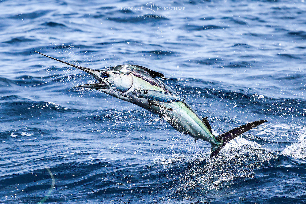 White Marlin jumping, offshore Lobito, Angola. The picture clearly shows the bait (ballyhoo) in the mouth of the fish. A Remora is attached to the Marlin's side.