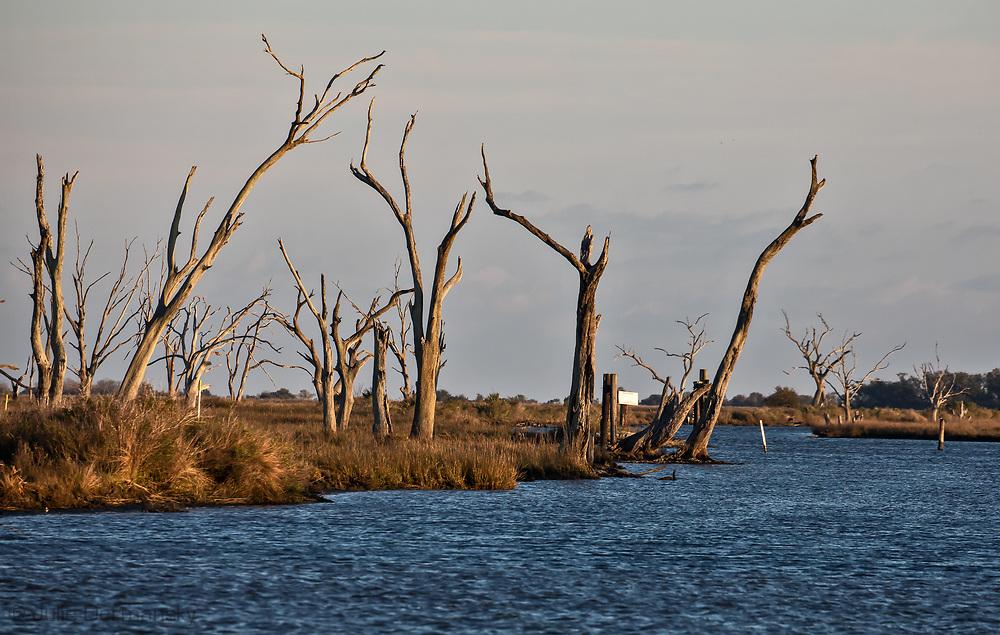 Dead live oak tress lining a bayou in Pointe-aux-Chenes, Louisiana.