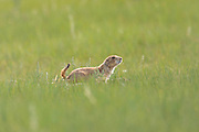 Black tailed Prairie Dog in a colony occupying a suburban field in Cheyenne, Wyoming.
