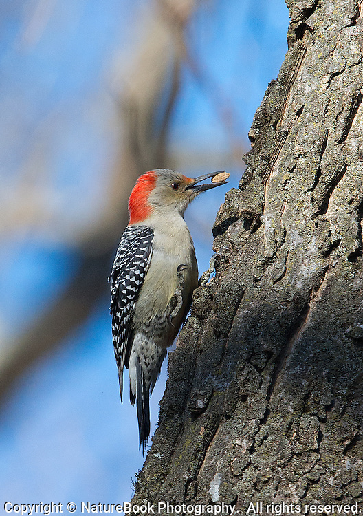 Woodpecker enjoys a winter snack at Radnor Lake State Natural Area, just south of Nashville, Tennessee