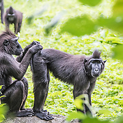 Sulawesi Crested Macaques (Macaca Nigra), Dublin Zoo, in Phoenix Park, Ireland