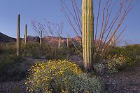 Sonoran desert dusk, Organ Pipe Cactus National Monument Arizona