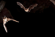 A long-eared bat (myotis evotis) (left) is followed by a western long-legged bat (Myotis volans) as they flight out of Pond Cave in Craters of the Moon National Monument, Idaho.