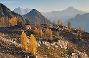 Subalpine Larch (Larix lyallii) in autumn,North Cascades Washington