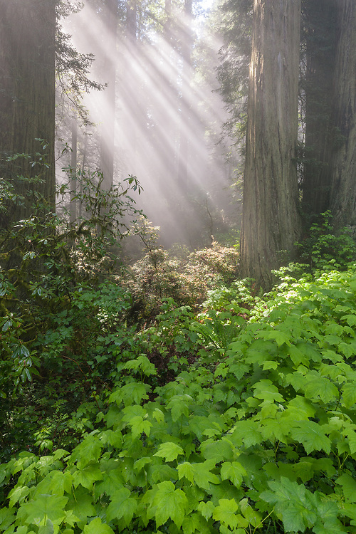 Early morning casts sunbeams through a foggy old growth forest, in Redwood National Park, California.