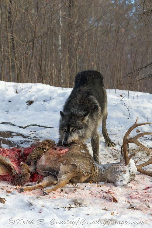 Black wolf feeding on deer carcass in wooded winter habitat. Captive pack.