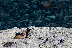 A puma cub (Puma con color) also known as a mountain lion or cougar,  laying down on stromolite rock along a lake, Torres del Paine, Chile, South America