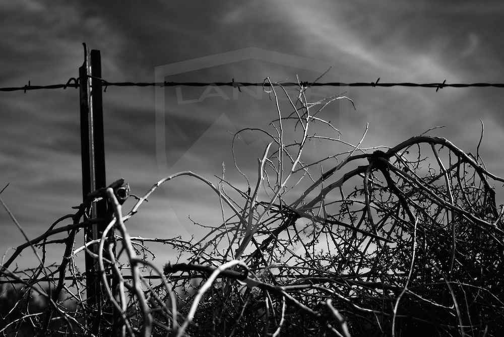 detail of barbed wire fence is overwhelmed by tumbleweeds caught on it.  such scenes appear throughout the southwest landscape of new mexico, the land of enchantment.