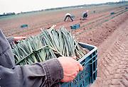 Nederland, Noord Limburg, 10-7-2001Preiplantjes worden in de grond gestopt.Akkerbouw, landbouw, seizoenswerk, vakantiewerk,illegalenFoto: Flip Franssen/Hollandse Hoogte