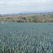 Blue agave fields for Tequila. Jalisco, Mexico.fields.