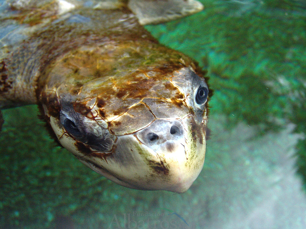 Las tortugas o quelonios (Testudines) forman un orden de reptiles (Sauropsida) caracterizados por tener un tronco ancho y corto, y un caparazón o envoltura que protege los órganos internos de su cuerpo. Al igual que todos los reptiles, las tortugas son animales ectotérmicos, lo que significa que su actividad metabólica depende de la temperatura externa o ambiental.  Las tortugas marinas están distribuidas en muchos lugares alrededor del mundo, prefieren el trópico y las temperaturas subtropicales. Se encuentran, generalmente, a lo largo de las regiones costeras de playas de arena. Esto incluye las áreas de América del Norte, América del Sur, América Central, India, Sudáfrica y Australia. También han sido vistos en el Océano Atlántico de Canadá, e incluso en zonas de toda Europa. Existen varias amenazas para la supervivencia de la especie. Estas incluyen la caza de las tortugas por su carne, y el saqueo de sus nidos en busca de los huevos. Adicionalmente al trabajo de las entidades globales como la Unión Internacional para la Conservación de la Naturaleza y CITES, algunos países en específico alrededor del mundo con jurisdicción sobre sitios de anidación y alimentación de la tortuga han hecho esfuerzos individuales para la conservación y la protección de la especie.<br /> ©Alejandro Balaguer/Fundación Albatros Media.