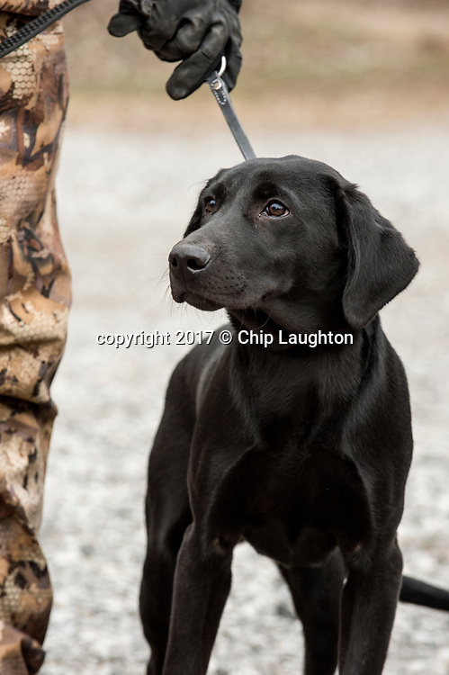 duck goose hunting stock photo image