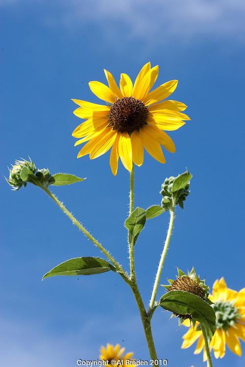 Sunflower (Helianthus annuus), Culberson County, Texas