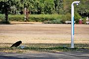 Nederland, 27-7-2018Een kraai heeft veel dorst, en drinkt uit een bakje water wat door mensen is neergeet naast een drinkwaterpunt van Vitens in het Goffertpark . Door de aanhoudende droogte is het gras vergeeld en het nationaal hitteplan in werking gesteld .Foto: Flip Franssen