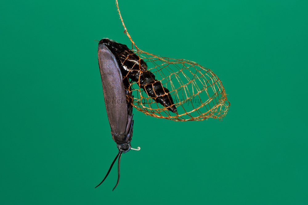 Urodus Moth emerging from Cocoon (Urodus sp.)<br /> Yasuni National Park, Amazon Rainforest<br /> ECUADOR. South America<br /> HABITAT &amp; RANGE: South, Central America and southern USA