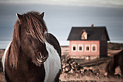 Horse portrait in Hvassahraun, south-west Iceland
