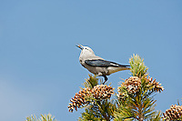 A Clark's Nutcracker feeds on pine nuts in the northern Utah Mountains.