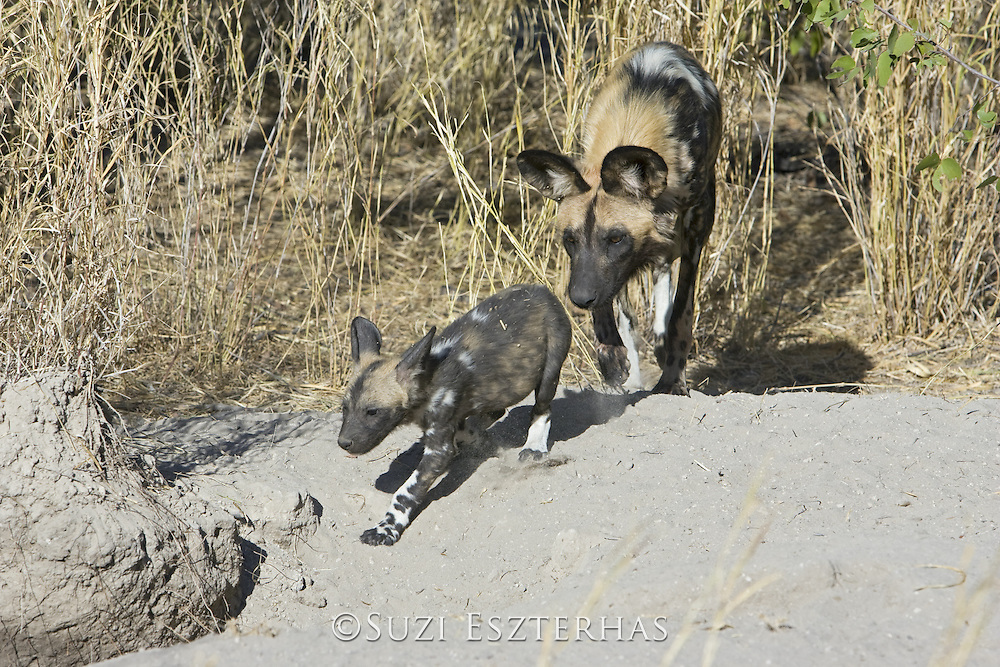 African Wild Dog <br /> Lycaon pictus <br /> Adult(s) chasing pup(s) back into den<br /> Okavango Delta, Botswana