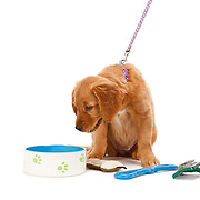 Golden Retriever puppy looking into dog food bowl copy space