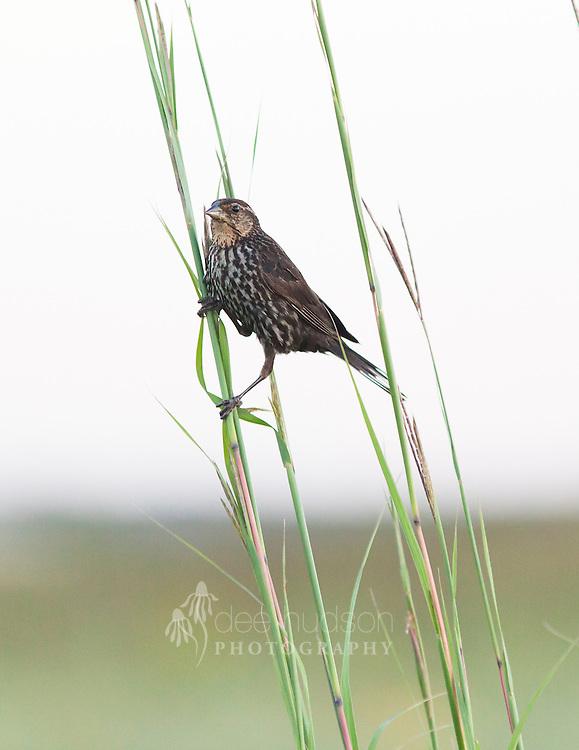 A female Red&ndash;winged Blackbird grasps the stems of the big bluestem grass, a native tall grass found in prairies.<br /> <br /> Red&ndash;winged Blackbird (Agelaius phoeniceus)