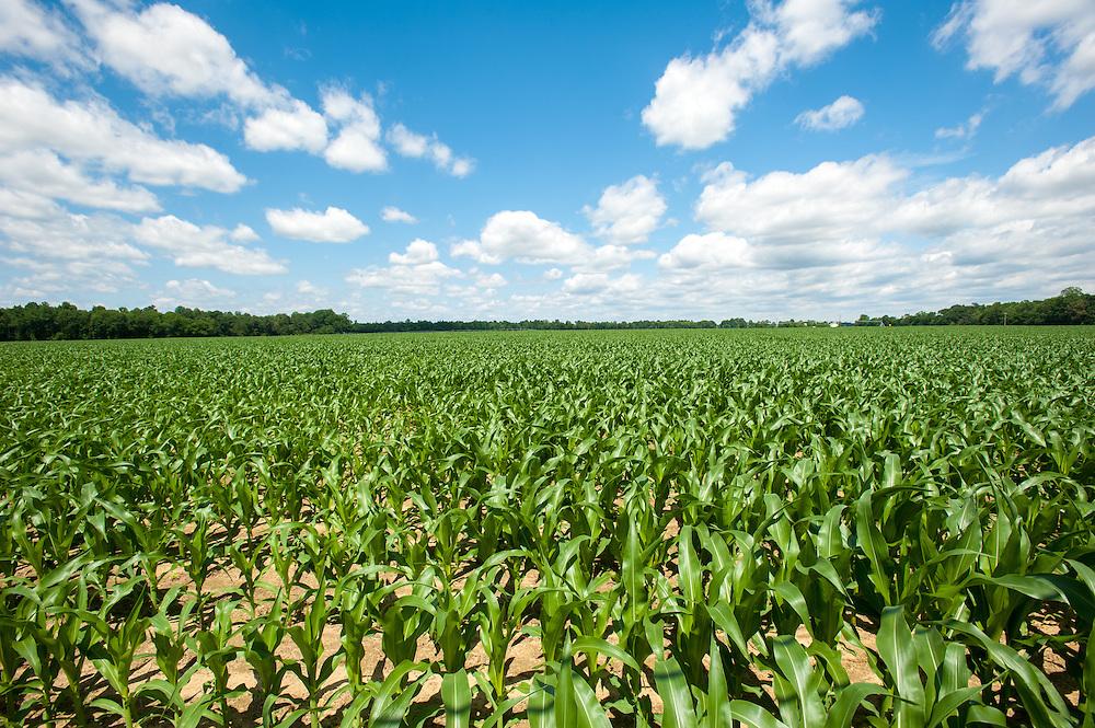 Corn field<br /> Preston  MD