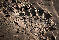 Walking the riverbank looking for bald eagles, I come across bear tracks.