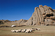 Sheeps graze in Terelj National Park, Ulaanbaatar, Mongolia. Land designations for parks are a very recent occurrence in the country. A ger is set up in the distance. Gers are circular tent-like dwellings with a collapsible wooden frame covered in animal skins, felt, and/or canvas. It serves as a home for shepherds and families alike. From coverage of revisit to Material World Project family in Mongolia, 2001.