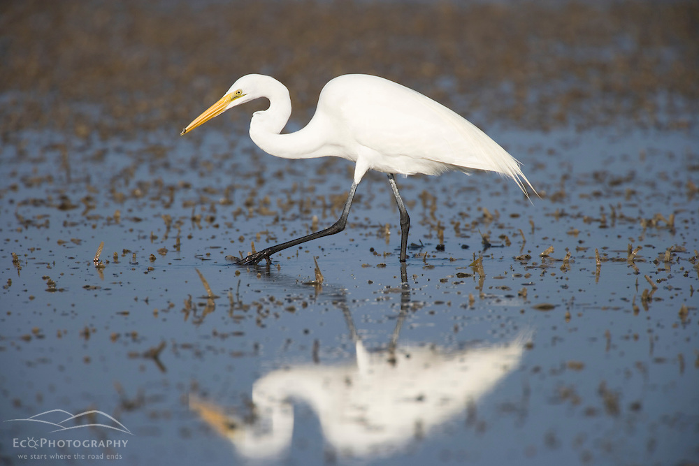 A great egret, Ardea alba, hunts in a mudflat on Honeymoon Island in Florida.