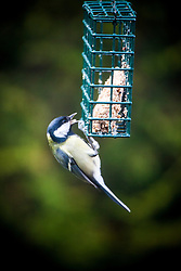 Bird feeding in the garden.