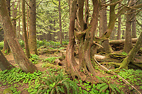 Coastal Rainforest Olympic National Park