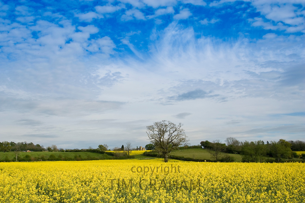 Rape seed crop field in Wyck Rissington and St Peter's Church in Little Rissington, The Cotswolds, Gloucestershire, England