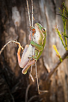 Native and endemic to the Southeastern United States, this squirrel treefrog clings to cypress twigs on a cool autumn day in the Big Cypress National Preserve in Southwest Florida.