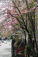 Dogwood trees in front of the St. Ignatius Loyola Church on Park Avenue and 83-84th st.