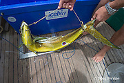a mahimahi, dorado, or dolphinfish, Coryphaena hippurus, is controlled with a strop to prevent it from jumping around the cockpit and injuring someone, aboard charter vessel Reel Addiction, Vava'u, Kingdom of Tonga, South Pacific; note round wounds on fish from cookie cutter shark bites
