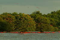 A large group of Scarlet Ibises (Eudocimus ruber) flying over the Orinoco River Delta, Venezuela.