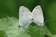 Small Blue Cupido minimus Wingspan 25mm. Britain's smallest butterfly; extremely active in sunshine, lethargic on overcast days. Adults have smoky-brown upperwings, those of males having a purplish iridescence; underwings of both sexes are grey with small black dots. Flies June–July. Larva is grub-like and feeds on Kidney Vetch. Very locally common in England, Wales and southern Ireland; usually associated with chalk grassland because of  larval foodplant's requirements.