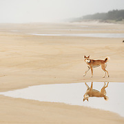Dingo on 75-Mile Beach, Fraser Island, Australia.