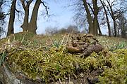 Common toad, European toad (Bufo bufo) on migration | Erkröten-Paar (Bufo bufo) auf der Wanderung zum Laichgewässer