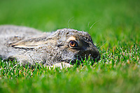 It was a hot sunny day and there were hawks circling high over head. This poor White-tailed Jackrabbit was desperately trying not to be noticed and it laid perfectly still. Why it would choose to do so in the middle of a wide open grassy area I have no idea...<br /> <br /> ©2015, Sean Phillips<br /> http://www.RiverwoodPhotography.com