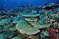 Anthias and hard corals on a Fiji reef.  Primarily Lyretail Anthias (Pseudanthias squamipinnis)..Vatu-i-Ra, Fiji.  Oct 03