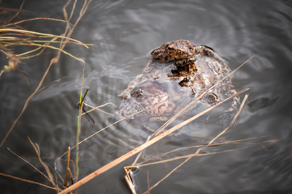 """A """"toad ball"""" of common toads (Bufo bufo) or European toad, vanlig padda. The males outnumber the females, often resulting in """"toad balls"""" of males around a female in the breeding season<br /> Location: Ravlunda, Skåne, Sweden<br /> ---<br /> An amphibian found throughout most of Europe. The toad is an inconspicuous animal as it usually lies hidden during the day. It becomes active at dusk and spends the night hunting for the invertebrates on which it feeds."""