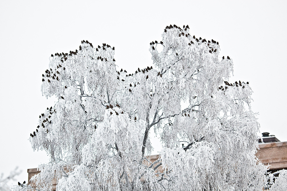 USA, Alaska, Anchorage.  Large flock of Bohemian waxwings sits on top of a hoar frost covered tree in Anchorage on a snowy day.  Waxwings migrate through Southcentral Alaska in December and January in large numbers and move about the area looking for berries, particularly mountain ash.