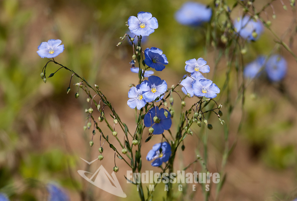 Flax is a blue mountain flower that is very common in the western United States.