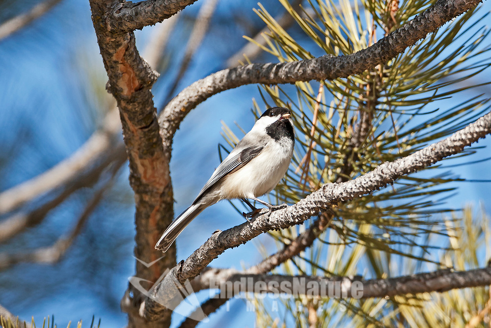 A Black Capped Chickadee feeds on a pine seed from a pine cone in this pine tree.