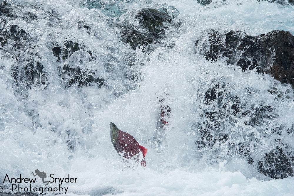 Sockeye salmon (Oncorhynchus nerka) making the jump up a small falls en route to spawning - Katmai, Alaska