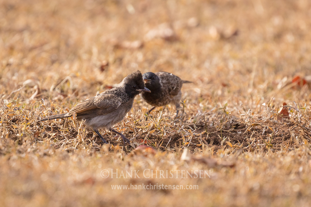 Two red-vented bulbul poke around in the earth for food, Mudumalai National Park, India.