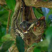 Sunda Flying Lemur (Galeopterus variegatus / Cynocephalus variegatus), adult female with young. Sarawak, Malaysia.