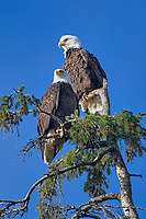Bald Eagle (Haliaeetus leucocephalus) pair, in a tree at Point Holmes, Comox, Vancouver Island, Canada