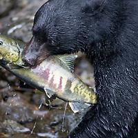 USA, Alaska, Kake, Black Bear (Ursus americanus) catches spawning Chum Salmon (Oncorhynchus keta) in shallows along Gunnuk Creek